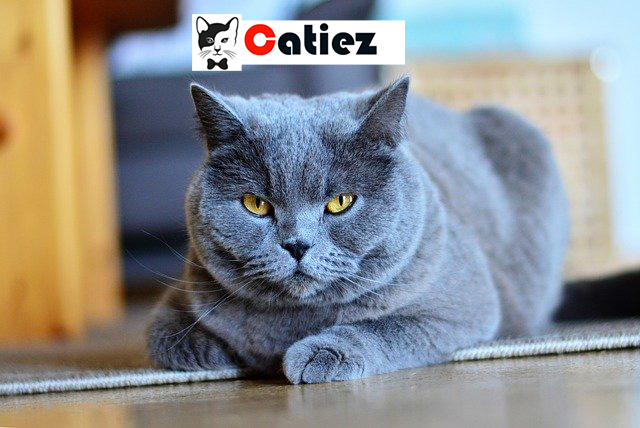 Chartreux cat - all you want to know about Chartreux cats