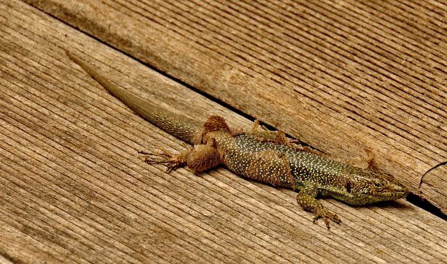 a lizard changing skin
