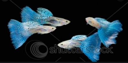 Cara Budidaya Ikan Guppy Agar Cepat Beranak Untung Berlipat