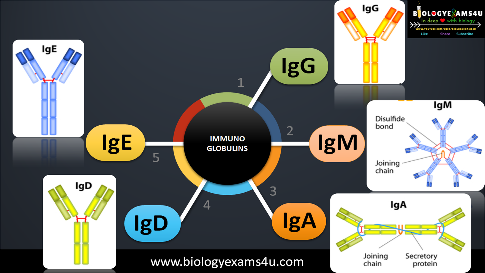 5 Classes of immunoglobulins Structure and Function