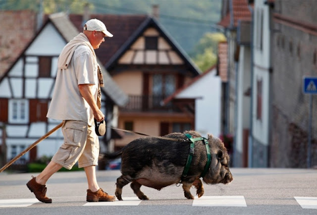 Christophe Lutz walks his domestic pig-wild boar Marcel in the village of Kolbsheim near Strasbourg.