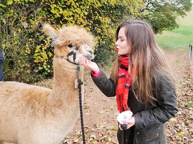 Walk with Alpacas in England UK Date Idea