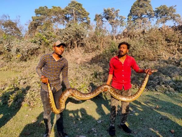 13ft long Burmese python rescued near Siliguri forest