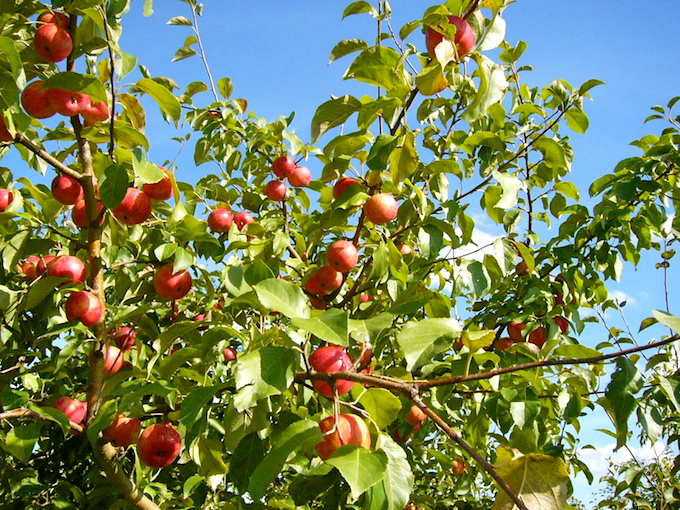 picking apples in the fall at apple jack orchards in delano minnesota