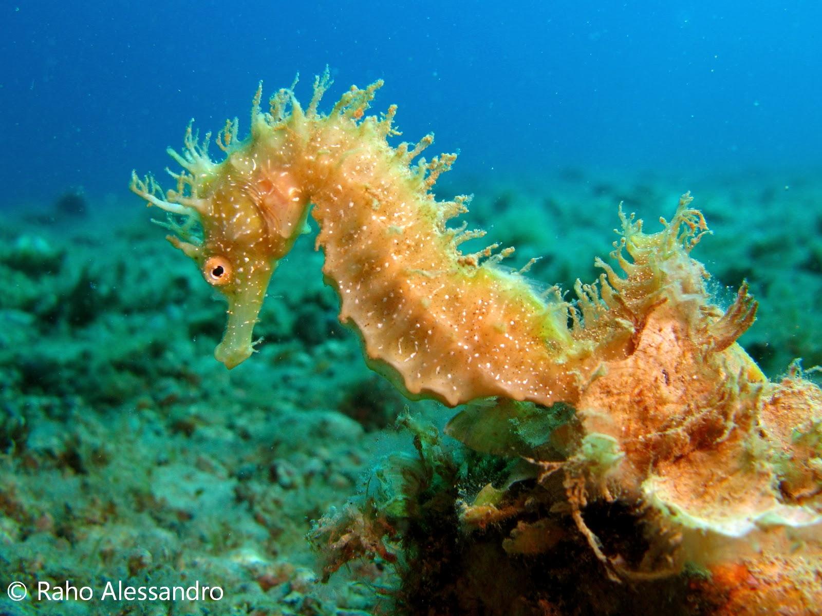 Necton e plancton pesci cavalluccio marino hippocampus for Immagini di cavalluccio marino