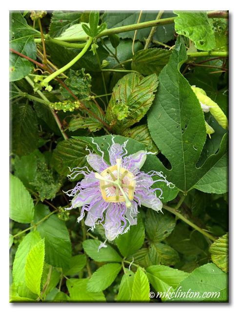 wild passion flower