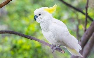 Burung Paruh Bengkok Kakatua Kecil Jambul Kuning