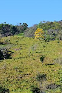 yellow flowering tree Costa Rica