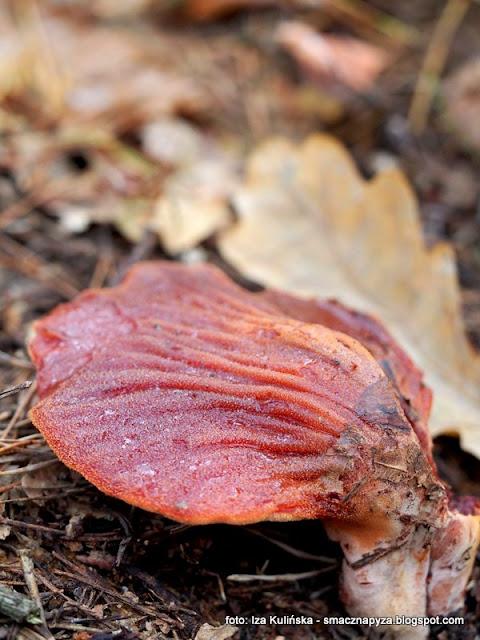 grzyb, jaki to grzyb, grzybobranie, grzyby, las, mazowsze, mazowieckie lasy, na grzyby, prosto z lasu, co to za grzyb, atlas grzybow