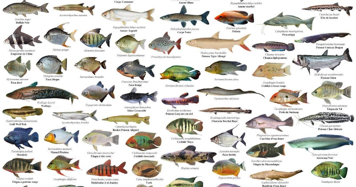 Jenis Jenis Ikan Laut Malaysia Aneka Ikan Hias