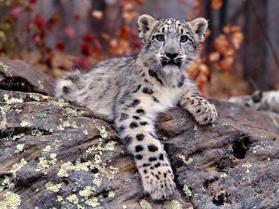 kar leoparı yavrusu
