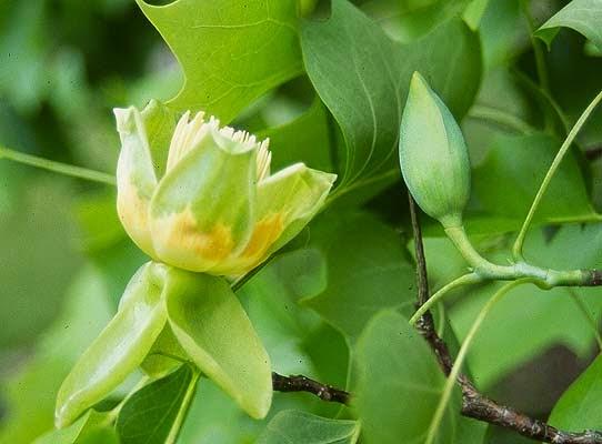 Liriodendron Tulipifera Flower Pinelands Nursery: Lir...