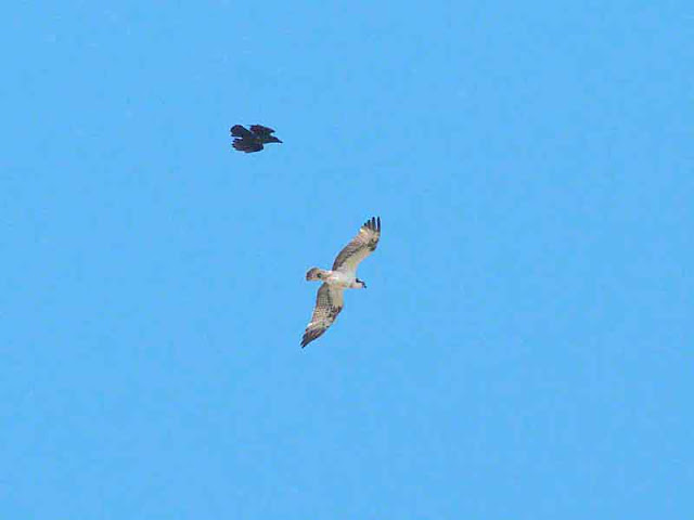 Crow and Osprey