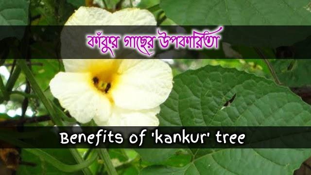 এবারু(কাঁকুর) এর বনৌষধি গুনাগুন ও উপকারিতা- 'Kankur' herbal qualities and benefits