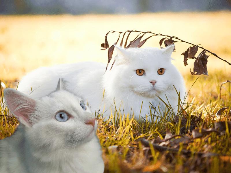 Origen del gato Angora