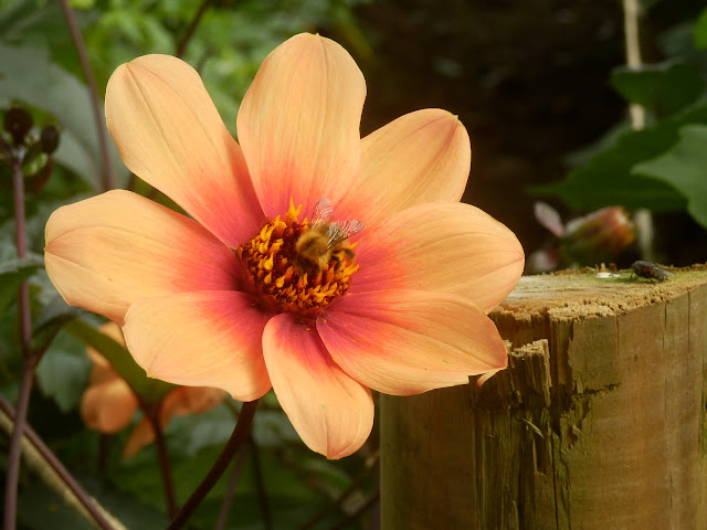 Singla dahlia at Lost Gardens of Heligan