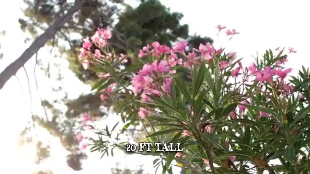 Most Poisonous Plants, Oleander