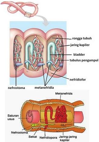 Sistem Ekskresi pada Annelida