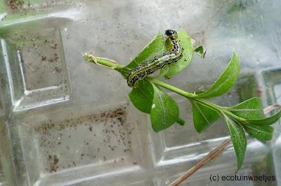 Schade door rups van de buxusmot herkennen voorkomt dat je ze met gif moet bestrijden. Zowel de vlinder of mot, de rups of larve, de uitwerpselen, de pop en de eitjes kan je op je buxus zien.