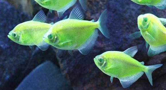 cá cánh bườm với màu sắc đẹp cho hồ thủy sinh muôn màu muôn vẻ
