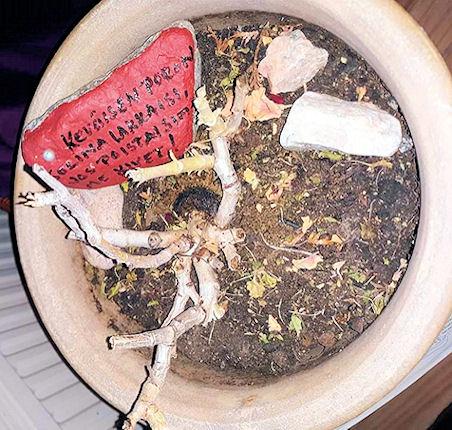Perannalle tarkoitettu suuri ruukku, jossa pelargonian juuristo säilyy talven yli.