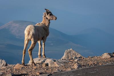 Bighorn Sheep, Mount Evans