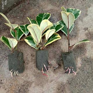 Khi cây đa tam phúc giâm cành có từ 3-5 rễ họ bắt đầu bán cây giống