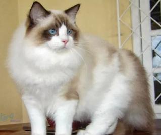 Anggora ras kucing bulu lebat