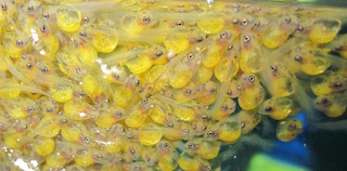 Bentuk buarayak Ikan Mas