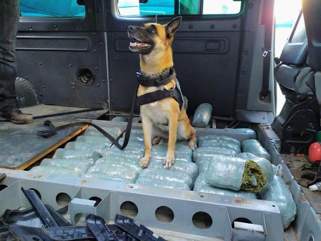 Com apoio de cães, PRF apreende 44,5 kg de maconha no RN