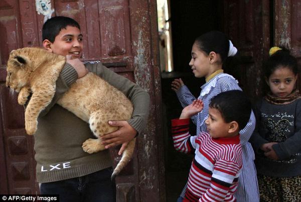 Gia đình Palestine nhận nuôi sư tử con như thú cưng trong nhà