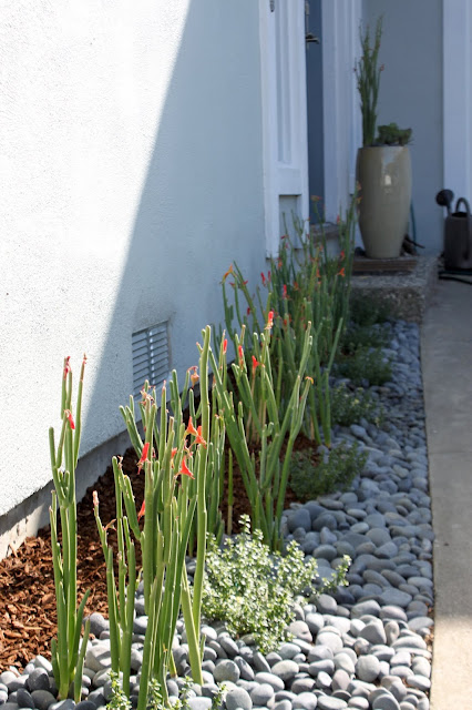Narrow space planted with Pedilanthus