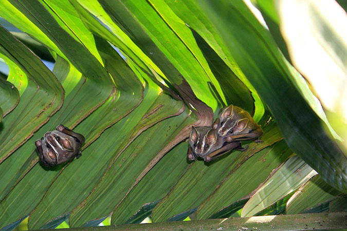 Penelitian Rapid Behavioral Changes During Early Development in Peters' Tent-making Bat (Uroderma bilobatum)