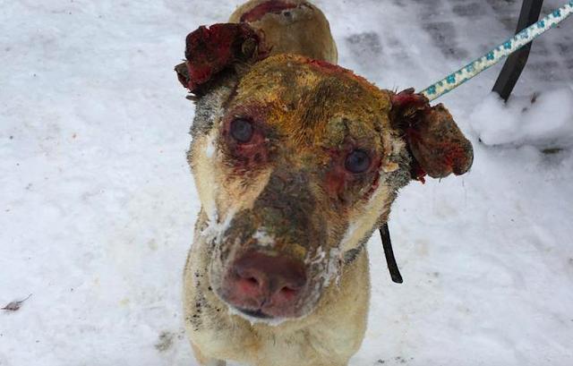 Пес искал хозяина в горящем доме, пока его глаза и уши горели — а теперь он снова оказался никому не нужным