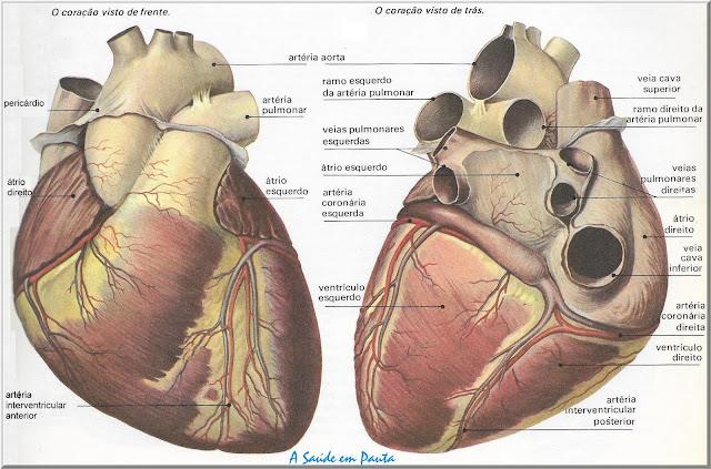 Vistas anterior e posterior do coração