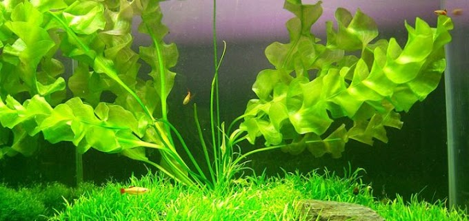 Best And Helpful Tips To Care Aponogeton Ulvaceus Plant
