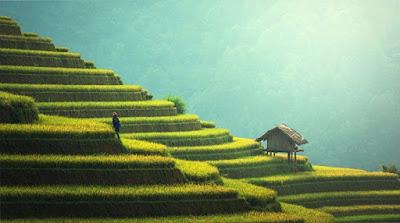 persawahan, petani, menanam padi