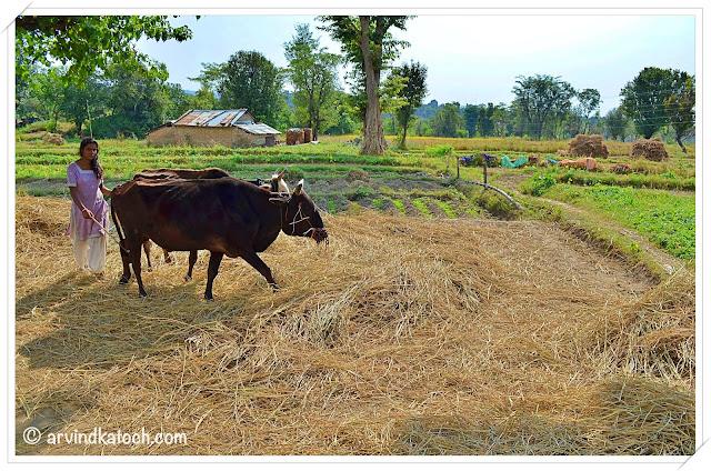 Traditional Farming method Himachal Pradesh (Getting seeds from crop)