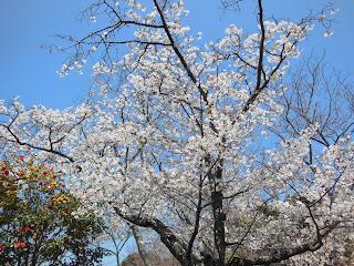 源氏山公園のヤマザクラ
