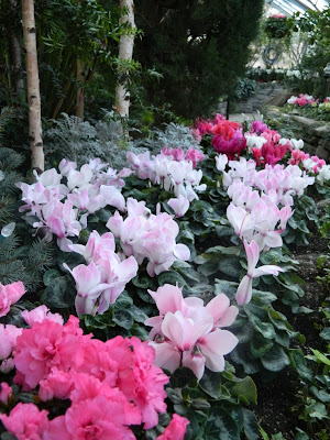 pink and white cyclamen at allan gardens christmas flower show 2012 by garden muses: a Toronto gardening blog