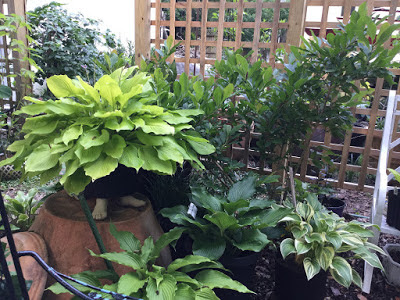 Grouping of potted hostas at varying levels