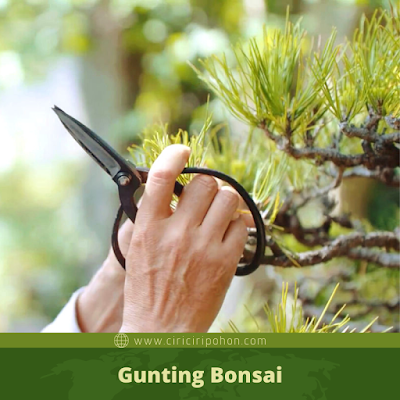 Gunting Bonsai