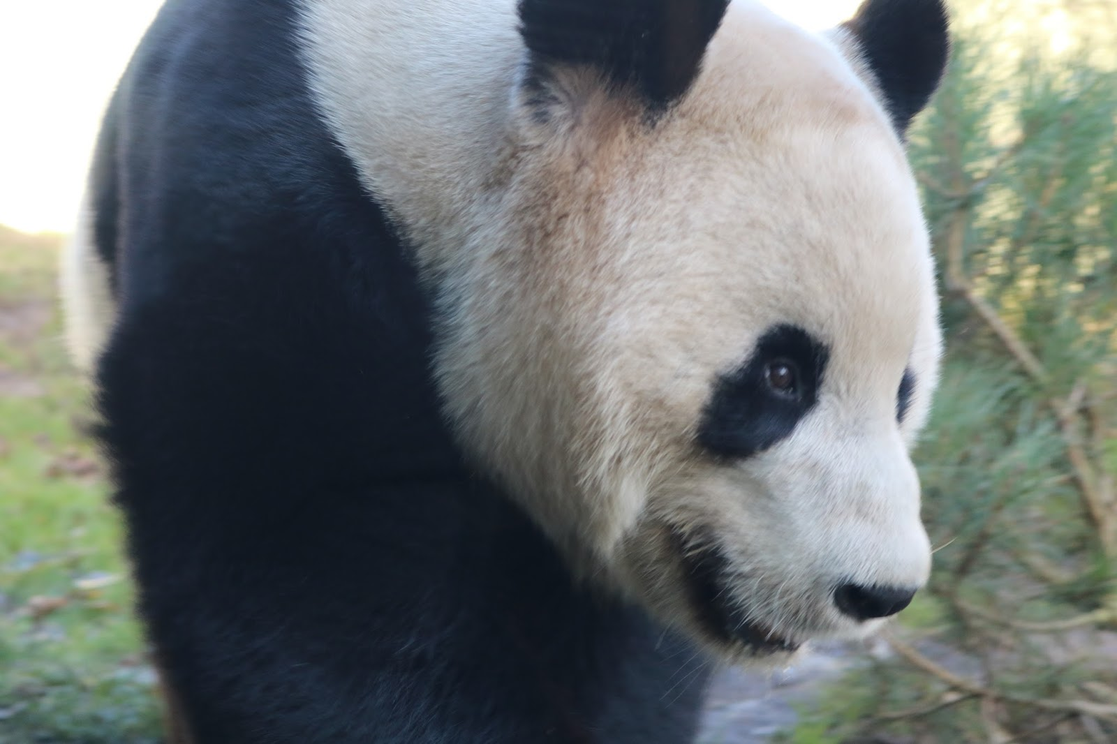 Pandas and Painted Dogs: A Day At Edinburgh Zoo