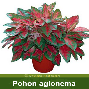 ciri ciri pohon aglonema