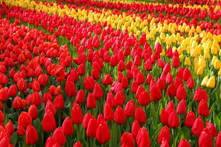 Keukenhov Parkı Çiçekleri