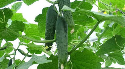 Begin Cucumber Farming & Cultivation in Nigeria (Start using this Guideline Here)