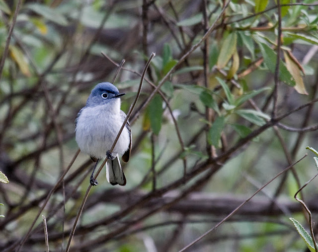 Blue-gray Gnatcatchers