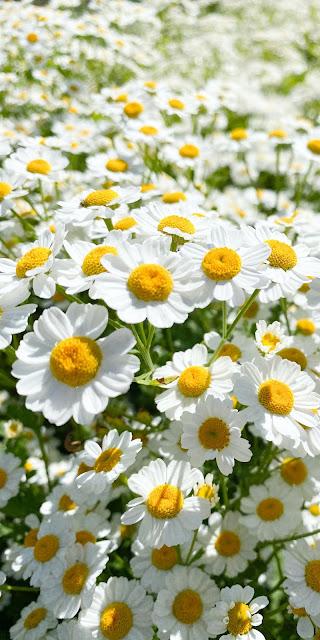 Cánh đồng hoa cúc trắng dưới ánh nắng ban mai