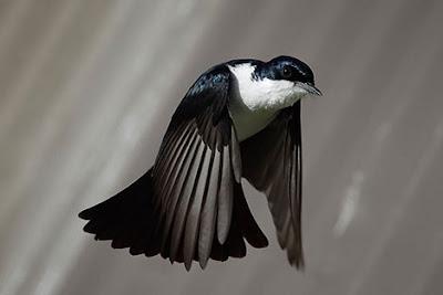 [Giải đáp] -  Chim bay vào bàn thờ rồi bay ra có điềm gì?