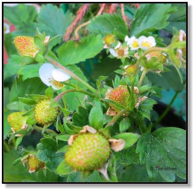 Garten, Erdbeeren